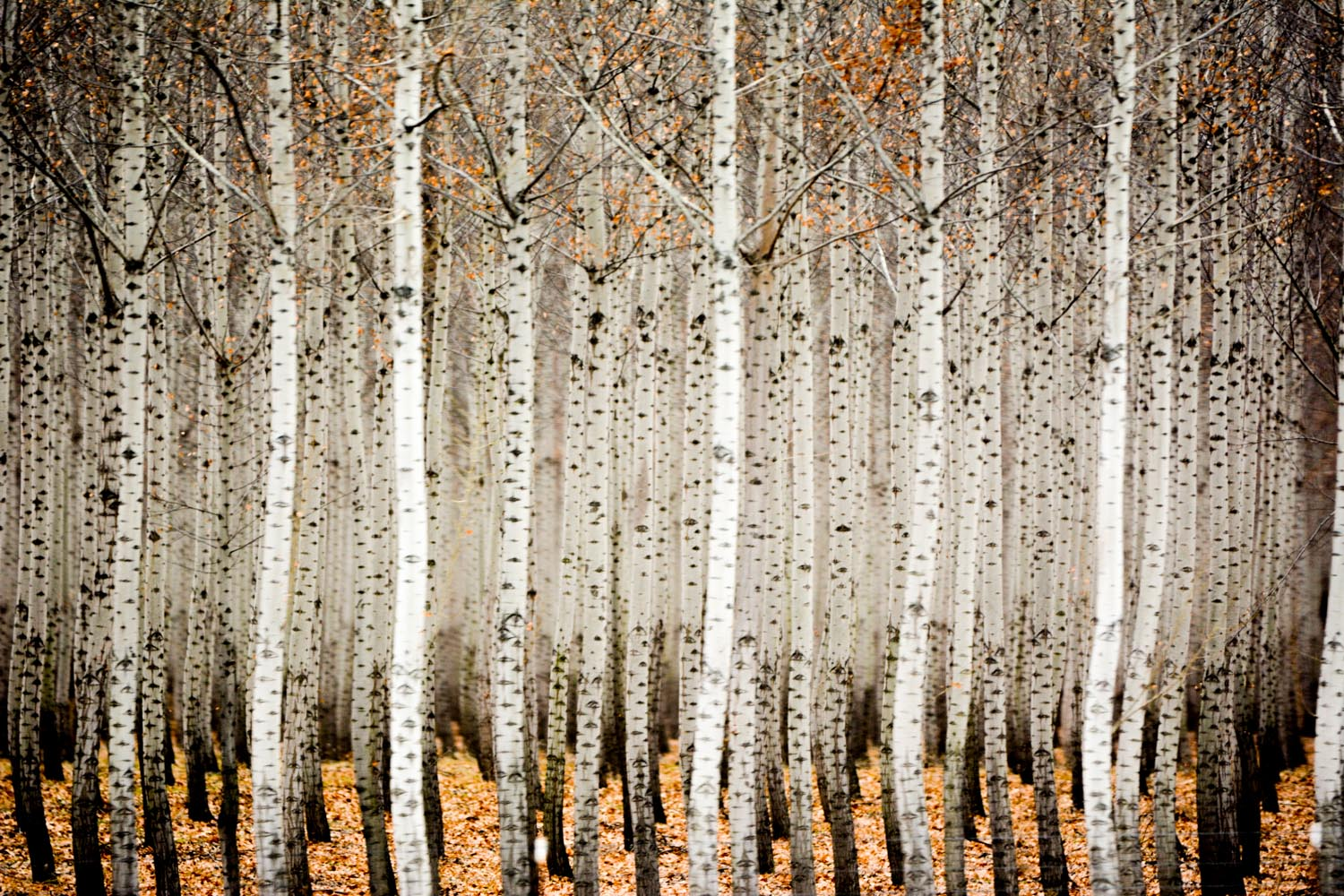Poplar Trees in Autumn