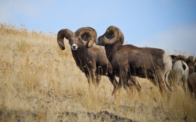 Bighorn Sheep in Montana