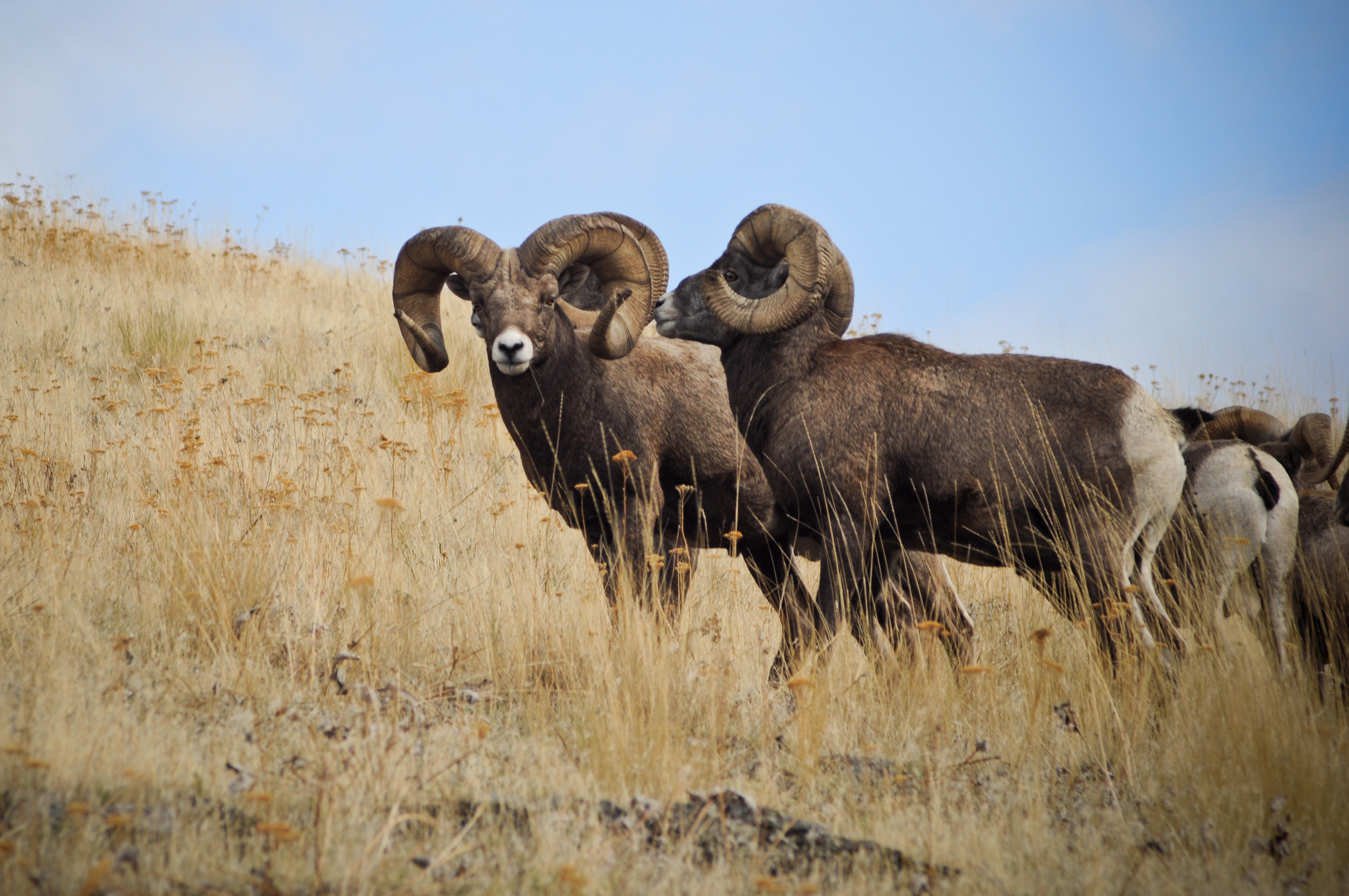 Bighorn Sheep Rams - Brandon Mauth