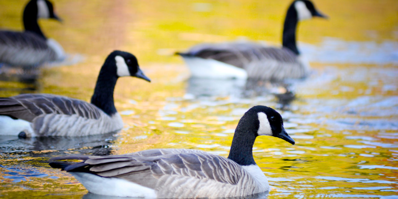 Canadian Geese Reflecting in Fall