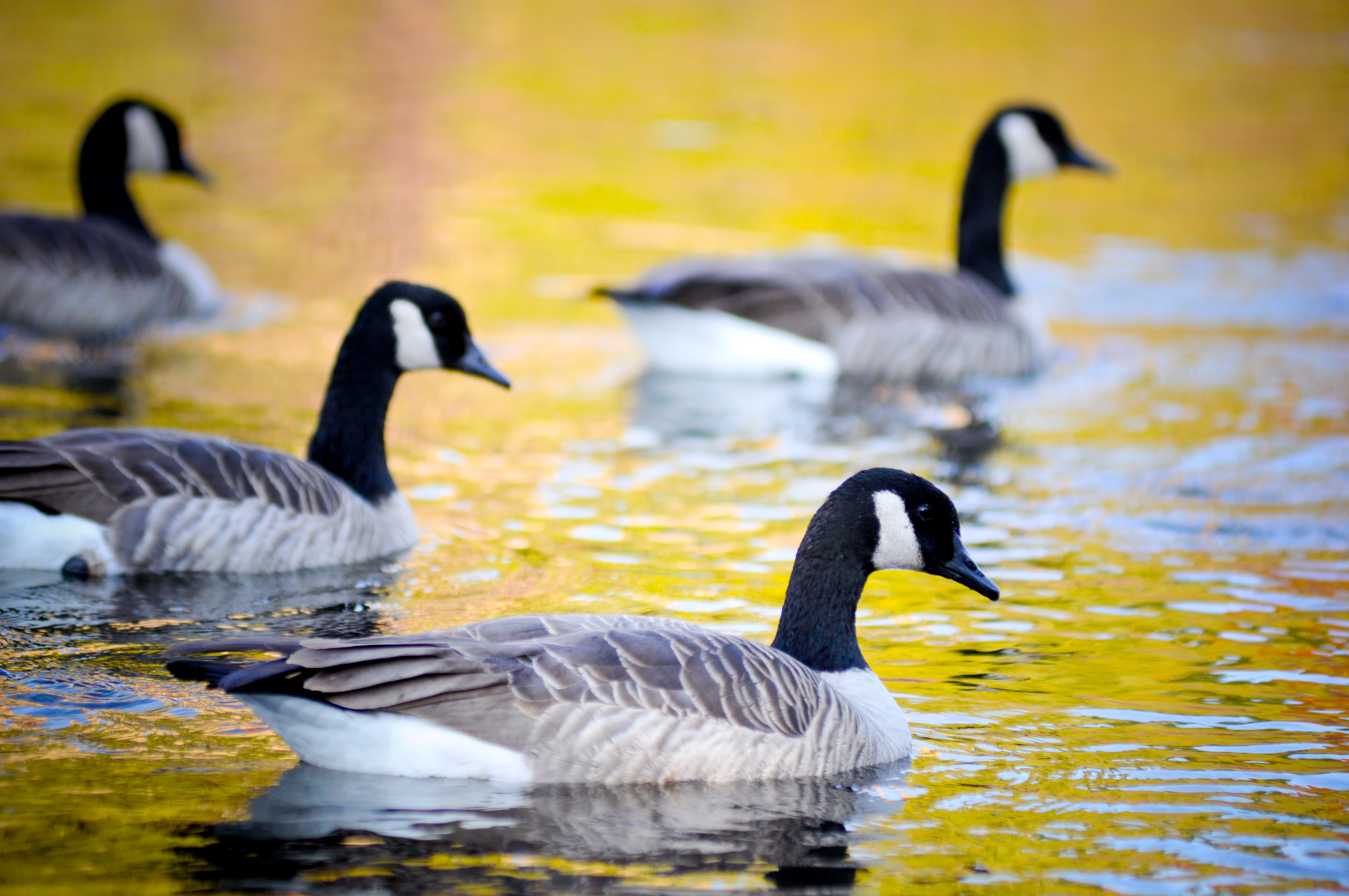 Canadian Geese - Brandon Mauth